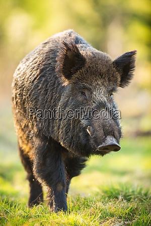 wild boar male moving forward on