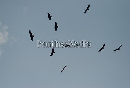 griffon vultures gyps fulvus gliding