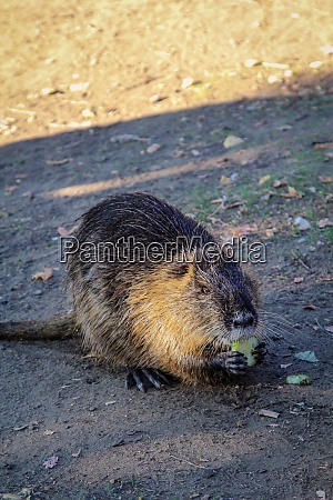 a nutria or muskrat on the