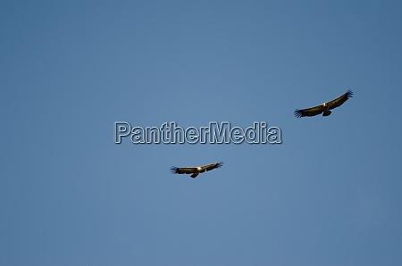 griffon vultures gliding