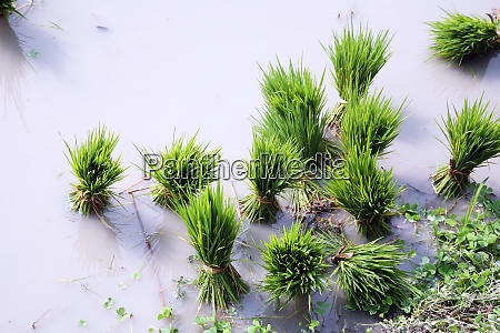 rice seedlings for planting
