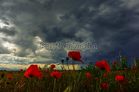 poppy field and dark rain clouds