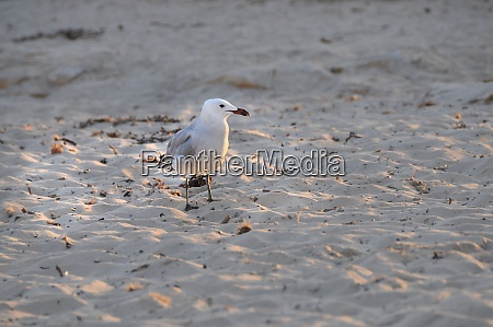 seagull at the beach of menorca