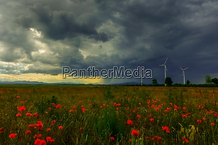 large poppy field and strong rain