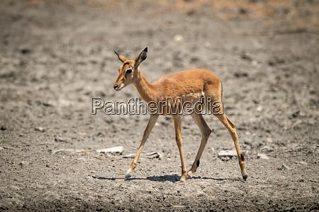 female common impala walks over rocky