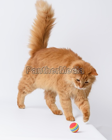 adult fluffy red cat plays with