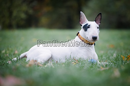 white bull breed dog with a