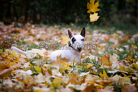 white bullterrier breed dog with a