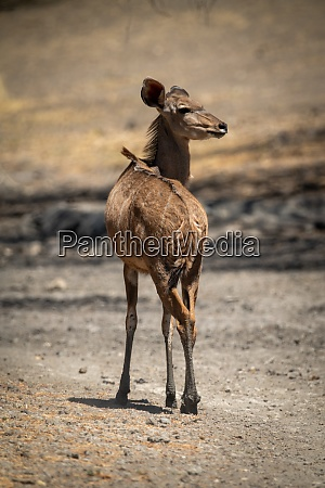 female greater kudu stands on rocky