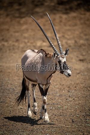 gemsbok walks across rocky ground in