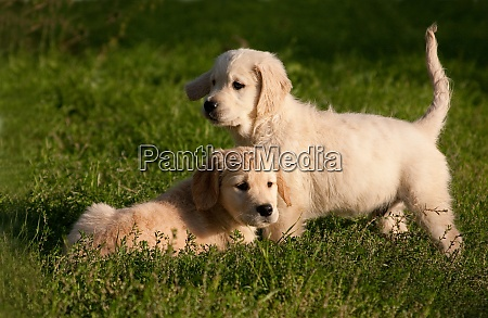 two little cute smart golden retriever