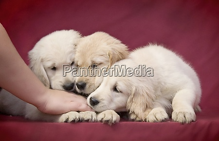 three little clever golden retriever puppy