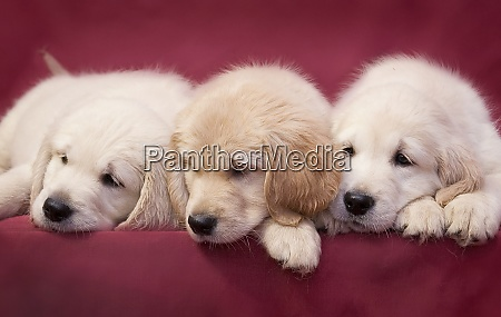 three little smart puppy of breed