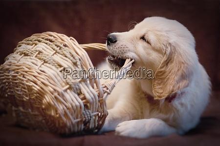 little golden retriever puppy plays with