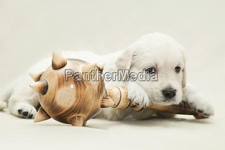 a little golden retriever puppy lies