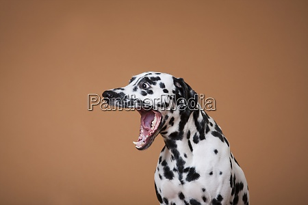 spotted dalmatian dog yawns on a