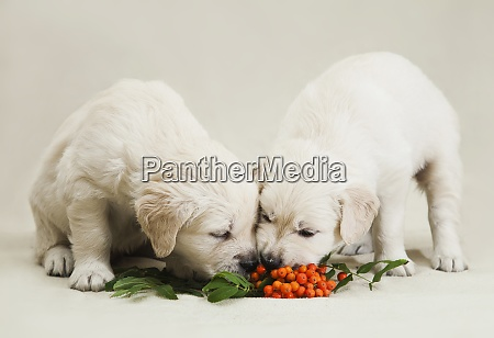 two little golden retriever puppy studying