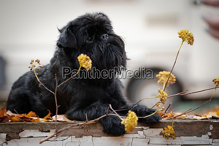 belgian griffon dog with a dry