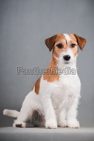 white red dog breed jack russell