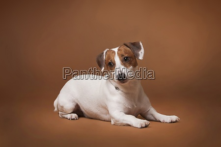 ack russell terrier white and red