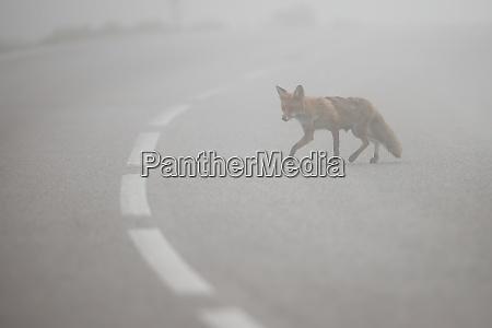 red fox crossing asphalt road with