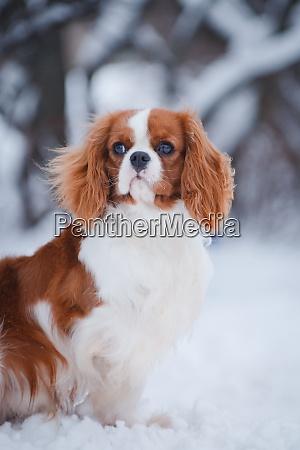 dog cavalier king charles spaniel in