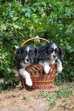 two puppy cavalier king charles spaniel