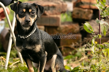 pincher dog in a summer meadow