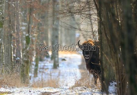european bisonbison bonasus bonasus looking from