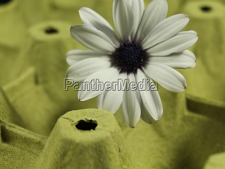 daisy flower petals beautiful color odor