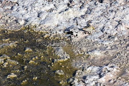 a fabian lizard at chaxa lagoon