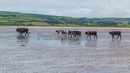 cows walking on a sandy beach