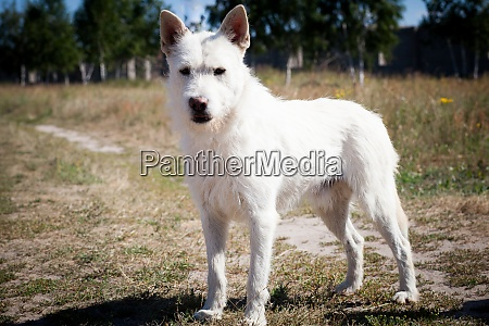 small white wire haired dog of