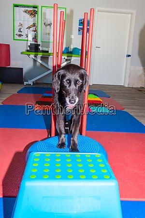little black dog on a parkour