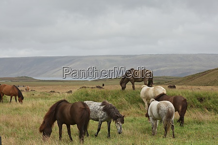 icelandic horse in the field of