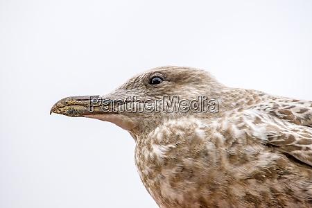 herring gull young bird closeup of