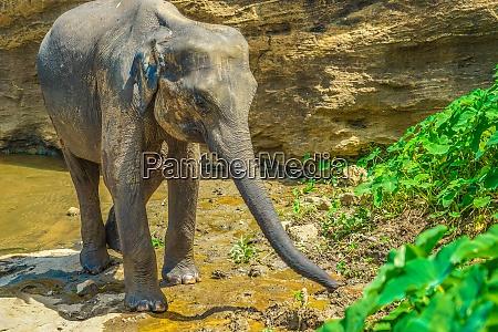 wild elephant image sri lanka pinnawara
