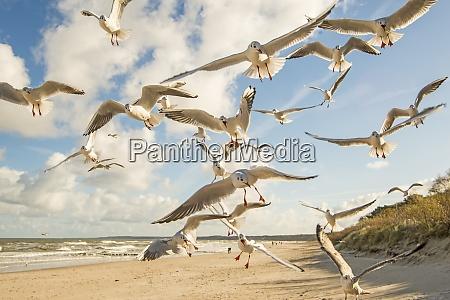 black headed gulls flying over beach