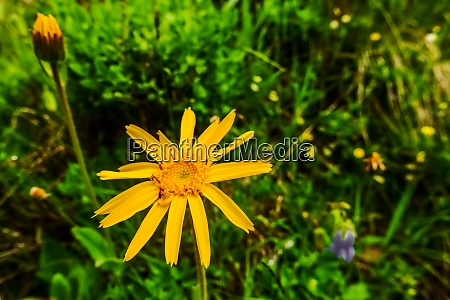 fresh orange flower arnica in the