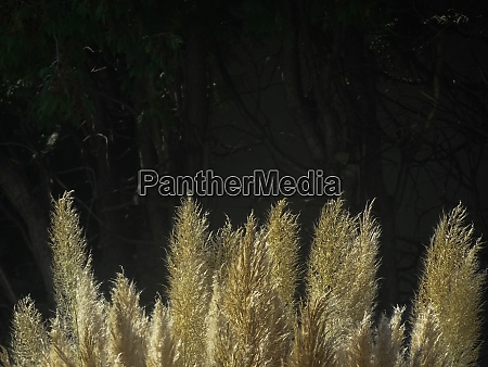 glowing high feather grass in the