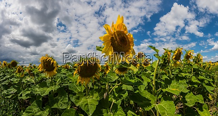 many sunflowers on a field with
