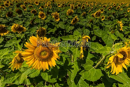 sunflowers in a row on a