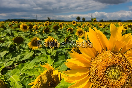 sunflowers in the summer with a