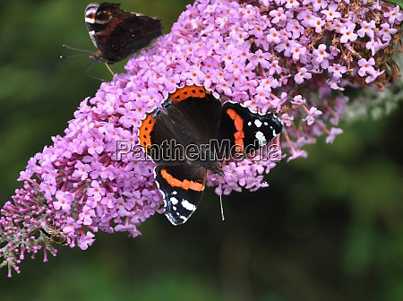 inflorescence of a butterfly bush with