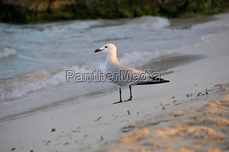 seagull in punta prima on menorca