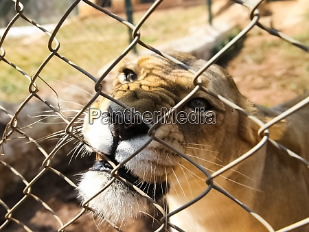 lioness behind the net is a