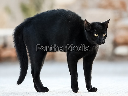black cat was frightened and stooped