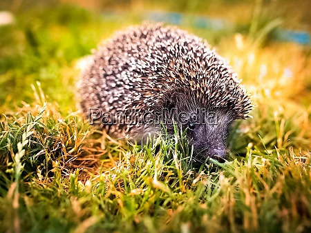 hedgehog in the grass on the