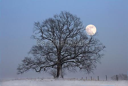 bald oak tree in snow