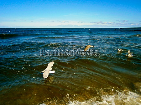 seagulls in flight over the baltic